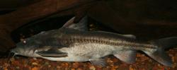 Centrodoras brachiatus - Click for species data page