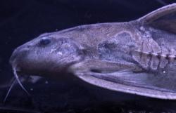 Centrodoras brachiatus