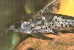 Ossancora eigenmanni