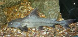Pterodoras granulosus - Click for species data page