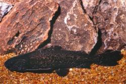 Pterodoras granulosus