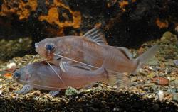 Brachyrhamdia sp. (1)