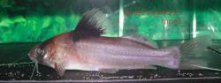 Brachyrhamdia sp. (2) - Click for species page