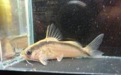 Brachyrhamdia thayeria - Click for species data page