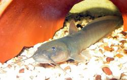 Heptapterus mustelinus