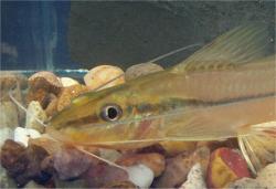 Pimelodella sp. (2)