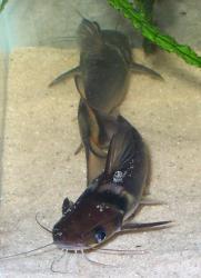 Horabagrus nigricollaris