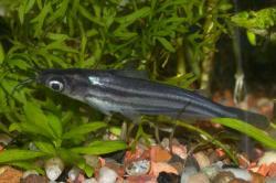 Pseudeutropius brachypopterus
