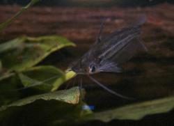 Pseudeutropius indigens