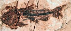 †Hypsidoris oregonensis