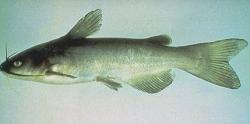 Ameiurus catus - Click for species data page