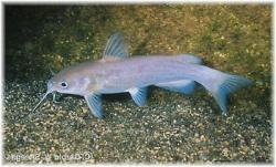 Ictalurus lupus - Click for species data page