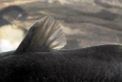 Noturus gyrinus