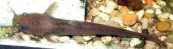 Noturus insignis
