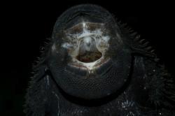 Acanthicus hystrix