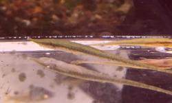 Acestridium gymnogaster
