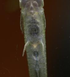 Acestridium scutatum