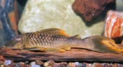 Ancistomus cf. snethlageae - Click for species page