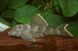Ancistomus sp. (L358) - Click for species data page