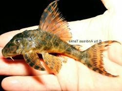 Ancistomus sp. (L430) - Click for species page