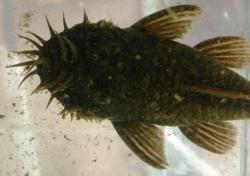 Ancistrus aff. bolivianus