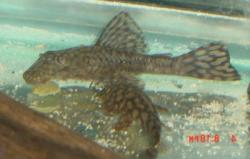 Ancistrus brevifilis - Click for species data page