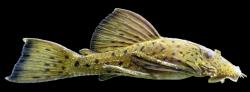 Ancistrus centrolepis - Click for species page