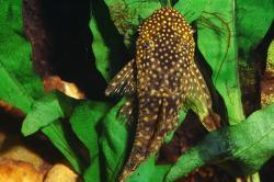 Ancistrus cf. cirrhosus