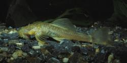 Ancistrus cryptophthalmus - Click for species data page