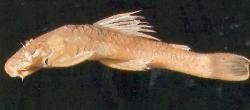 Ancistrus cryptophthalmus