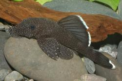 Ancistrus dolichopterus - Click for species data page