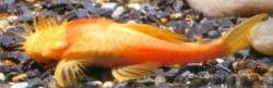Ancistrus formoso - Click for species page