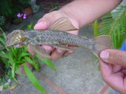 Ancistrus gymnorhynchus - Click for species data page
