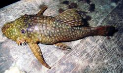Ancistrus shuar - Click for species page