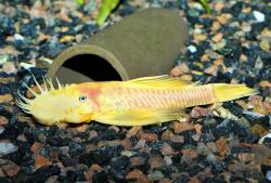 Ancistrus sp. (4) - Click for species page
