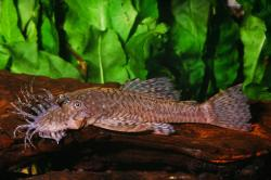Ancistrus sp. (7) - Click for species page