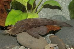 Ancistrus sp. (L088) - Click for species page