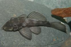 Ancistrus sp. (L088)