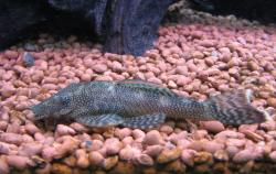 Ancistrus sp. (L111) - Click for species data page