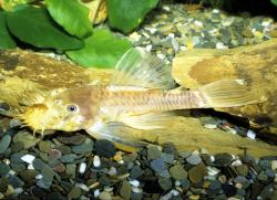 Ancistrus sp. (L144) - Click for species data page
