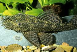 Ancistrus sp. (L156) - Click for species data page