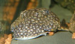 Ancistrus sp. (L309)