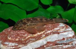 Ancistrus sp. (L338) - Click for species data page