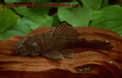Ancistrus sp. (L359) - Click for species data page