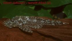 Ancistrus sp. (L378) - Click for species data page
