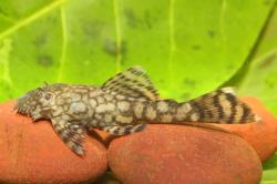 Ancistrus sp. (L464) - Click for species data page