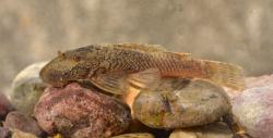 Ancistrus sp. (L506) - Click for species data page