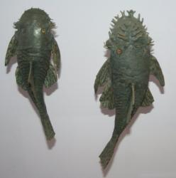 Ancistrus stigmaticus - Click for species page