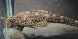 Ancistrus tamboensis - Click for species data page