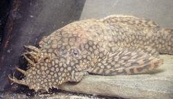 Ancistrus tamboensis